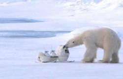 Neregėtas baltųjų lokių gyvenimas