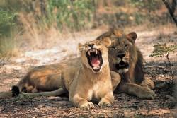 Gorongozos nacionalinis parkas. Rojaus atgimimas