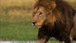 Pelkių liūtai